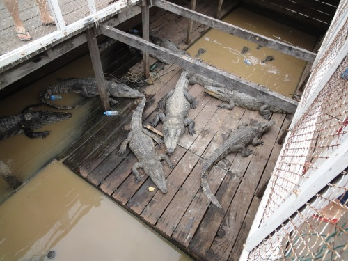 Tonle Sap - crocodile farm