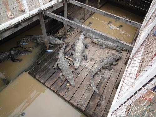Tonle Sap - crocodile farm
